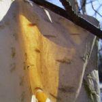 Papierbirke Rinde Betula papyrifera 01