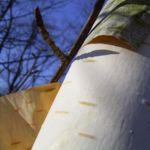 Papierbirke Rinde Betula papyrifera 02