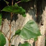 Pappel kanadisch Populus x canadensis 01