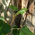 Pappel kanadisch Populus x canadensis 03