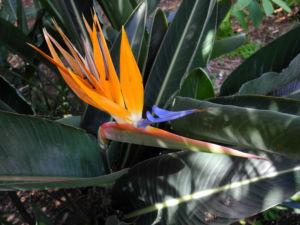 Paradiesvogelblume Bluete blau orange Strelitzia reginae 02