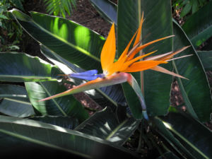 Paradiesvogelblume Bluete blau orange Strelitzia reginae 03