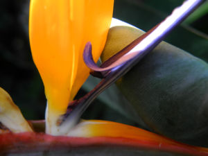 Paradiesvogelblume Bluete blau orange Strelitzia reginae 06