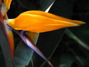 Paradiesvogelblume Bluete blau orange Strelitzia reginae 07