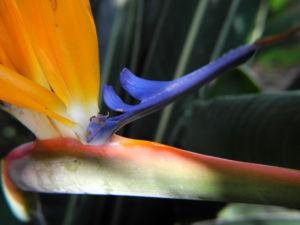 Paradiesvogelblume Bluete blau orange Strelitzia reginae 09