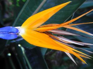 Paradiesvogelblume Bluete blau orange Strelitzia reginae 10