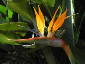 Paradiesvogelblume Bluete blau orange Strelitzia reginae 11