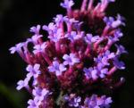 Patagonisches Eisenkraut Bluete lila Verbena bonariensis 29
