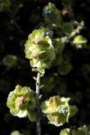 Reise durch Australien Pearl-Bluebush Blüte hell gelb Maireana sedifolia