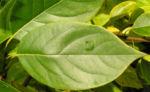 Persimone Baum Frucht gelblich Diospyros virginiana 02