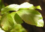 Persische Parrotie Baum Herbst Blatt rot Fruechte braun Parrotia persica 10