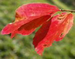 Persische Parrotie Baum Laub rot gelb Parrotia persica 02