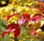 Persische Parrotie Baum Laub rot gelb Parrotia persica 08