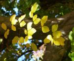 Persische Parrotie Baum Laub rot gelb Parrotia persica 13