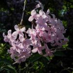 Persischer Flieder Bluete pink Syringa x persica 02 1