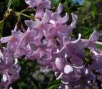 Persischer Flieder Bluete pink Syringa x persica 04 1