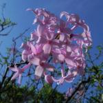 Persischer Flieder Bluete pink Syringa x persica 07 1