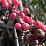 Peruanischer Pfefferbaum Frucht rot Blatt gruen Schinus molle 13