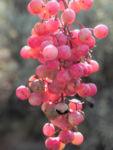 Peruanischer Pfefferbaum Frucht rot Blatt gruen Schinus molle 21