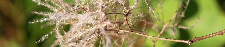 gewoehnlicher-perueckenstrauch-bluete-weiss-blatt-gruen-samen-cotinus-coggygria
