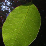 Perueckenstrauch Cotinus coggygria 01