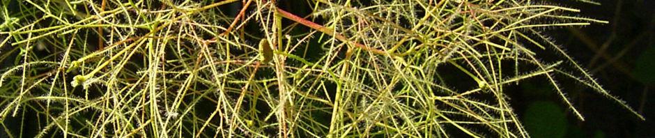 perueckenstrauch-samen-silber-cotinus-coggygria