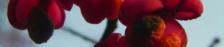 pfaffenhuetchen-strauch-bluete-orange-rot-euonymus-europaeus