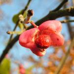 Pfaffenhuetchen Strauch Bluete rose Euonymus velutinus 02