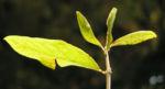 Pfaffenhuetchen Strauch Bluete rose Euonymus velutinus 03