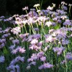 Pfingst Nelke Bluete pink Dianthus Gratianopolitanus 13