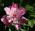 Pfingstrose Bluete Anemonenfoermig rose Paeonia suffruticosa 07