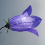 Pfirsichblaettrige Glockenblume Bluete blau Campanula persicifolia 04