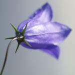 Pfirsichblaettrige Glockenblume Bluete blau Campanula persicifolia 05