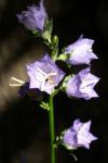 Pfirsichblaettrige Glockenblume Blute lila Campanula persicifolia 07