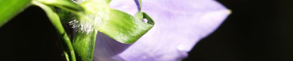 pfirsichblaettrige-glockenblume-bluete-lila-campanula-persicifolia