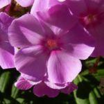 Phlox lila Bluete Phlox paniculata 01