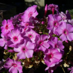 Phlox lila Bluete Phlox paniculata 02