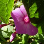 Phlox lila Bluete Phlox paniculata 06