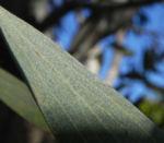 Pincushion Hakea Blatt gruen Hakea laurina 03