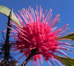 Pincushion Hakea Bluete pink Hakea laurina 06
