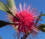 Pincushion Hakea Bluete pink Hakea laurina 08