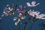 Polster Flammenblume Bluete hellblau Phlox subulata 18