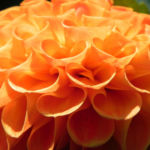 Pompon Dahlie gefuellt Bluete orange Dahlia x hortensis 04