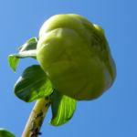 Pompon Dahlie gefuellt Knospe gruenlich Dahlia x hortensis 13