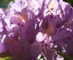 Pontische Alpenrose Bluete pink Rhododendron ponticum 05