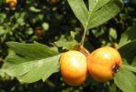 Pontischer Weissdorn Frucht ocker Crataegus pontica 04