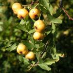 Pontischer Weissdorn Frucht ocker Crataegus pontica 05