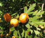 Pontischer Weissdorn Frucht ocker Crataegus pontica 06