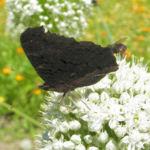 Porree Lauch Bluete weiss mit Hummeln Allium porrum 02