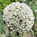 Porree Lauch Bluete weiss mit Hummeln Allium porrum 05